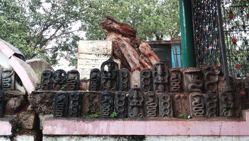 Vidur tree at vidurashwatha temple